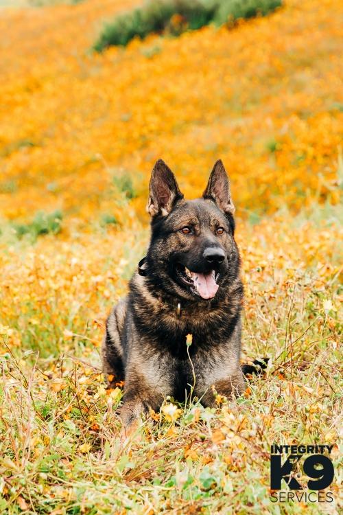 Czech Shepherd